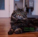 maine_coon_susanna__coons_house